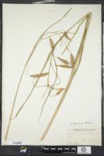 Carex paleacea image