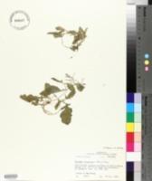 Image of Rorippa heterophylla