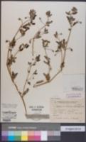 Image of Kallstroemia tribuloides