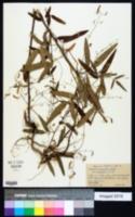 Desmodium paniculatum var. angustifolium image