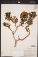 Argemone fruticosa image