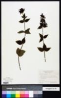 Russelia sarmentosa image