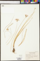 Allium speculae image