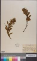 Image of Scaevola kilaueae
