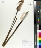 Image of Arisaema heterophyllum