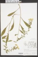 Heterotheca mariana image