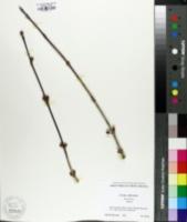 Cornus officinalis image