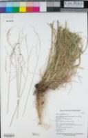 Festuca subuliflora image