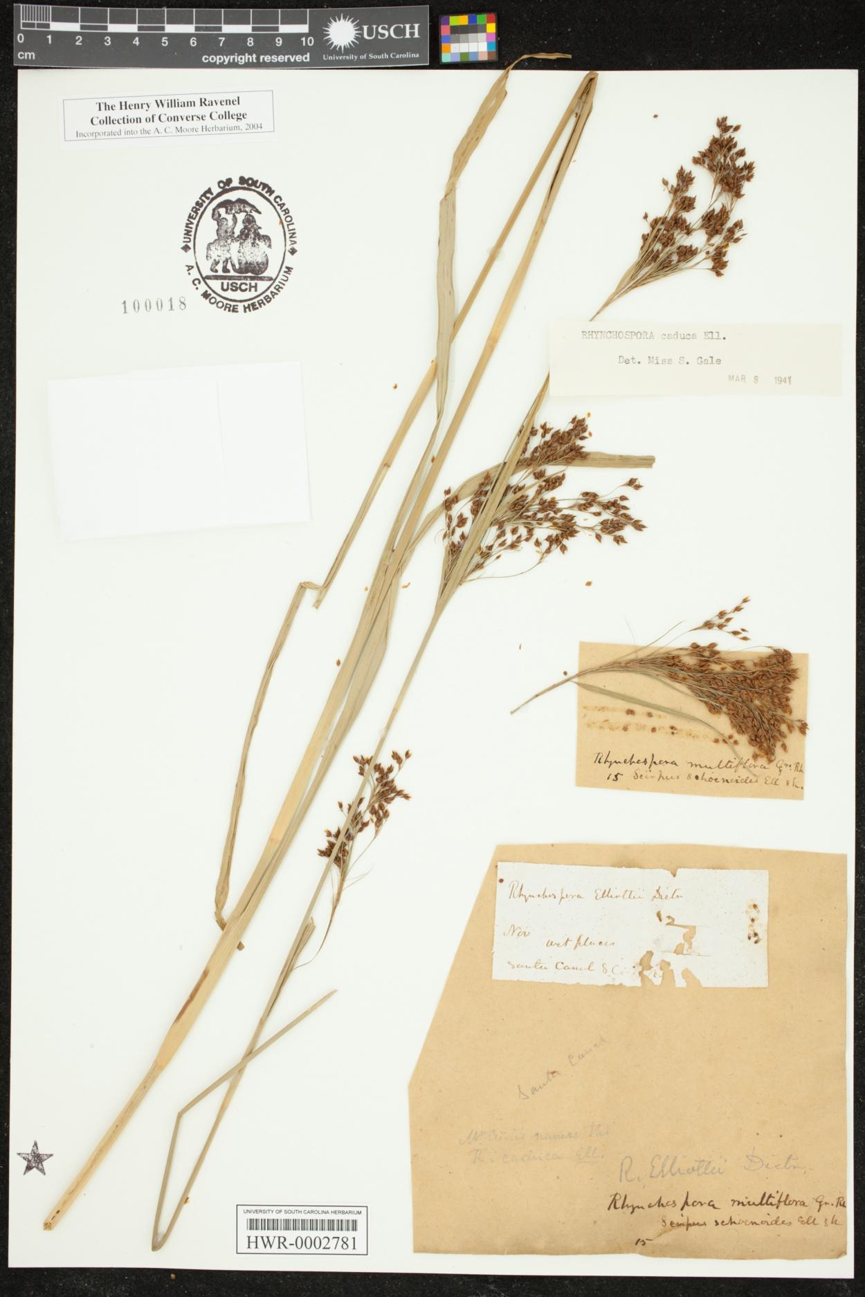 Rhynchospora caduca