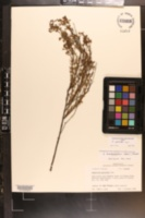 Image of Hypericum brachyphyllum