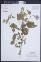 Abutilon mucronatum image