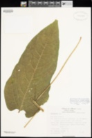 Image of Carica cnidoscoloides