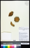 Stetsonia coryne image