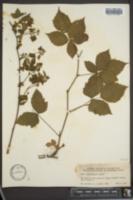 Image of Rubus pronus