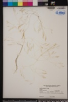 Agrostis avenacea image