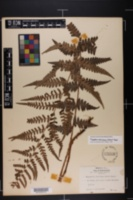 Image of Dryopteris ludoviciana