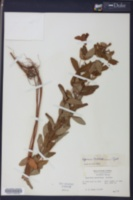 Hypericum mitchellianum image