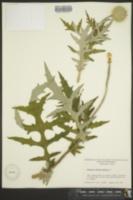 Image of Echinops sphaerocephalus