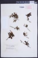 Image of Desmaria mutabilis
