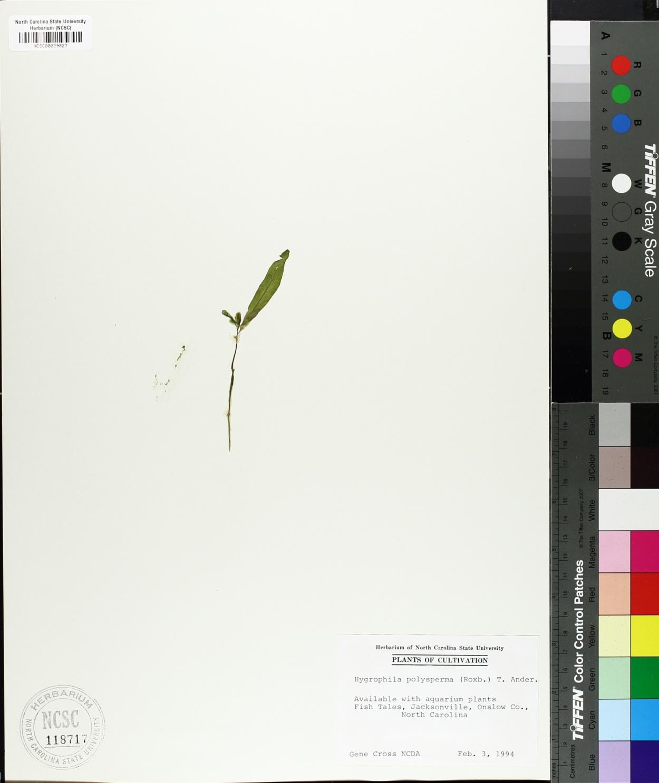 Hygrophila image