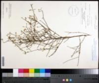 Image of Symphyotrichum adnatum