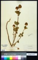 Image of Trifolium amoenum