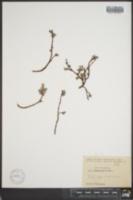 Image of Salix pseudopolaris