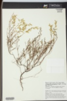 Image of Polygonum polygamum
