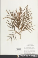 Image of Phyllanthus linearis