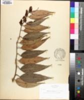 Leucothoe fontanesiana image