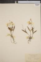 Image of Epidendrum conopseum