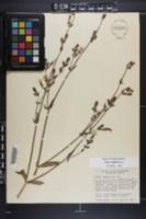 Silene latifolia image
