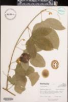 Passiflora edulis image