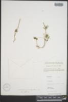 Cardamine microphylla image