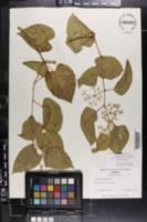 Cissus verticillata image