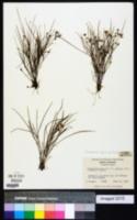 Cuthbertia graminea image