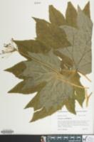 Diphylleia cymosa image