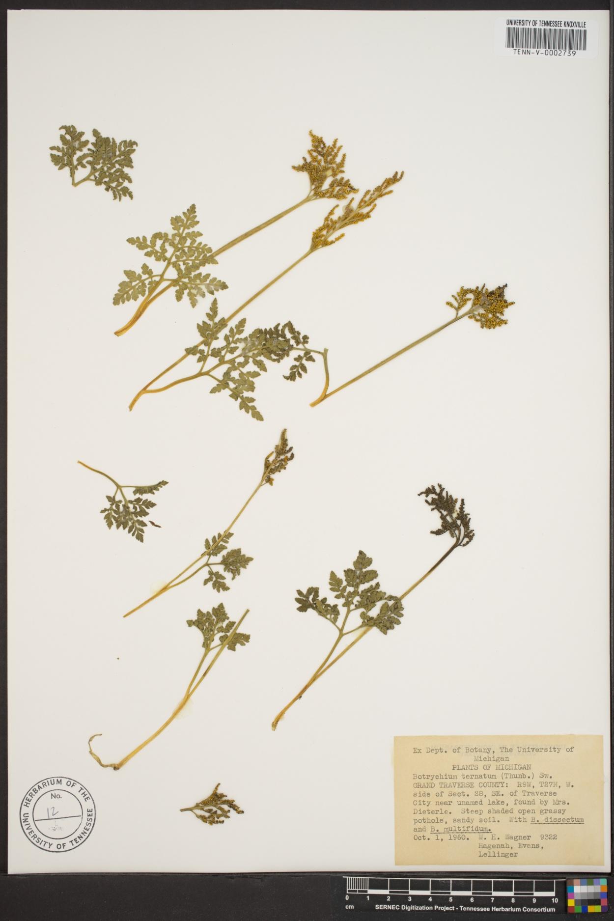 Sceptridium image