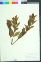 Image of Rhododendron pulchrum