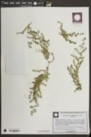 Chamaesyce cordifolia image