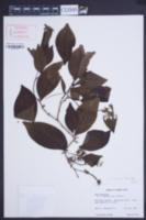 Inga fagifolia image