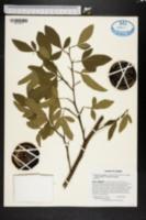 Image of Citrus insitorum