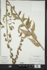 Campanula rapunculoides image