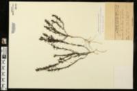 Image of Gratiola hispida