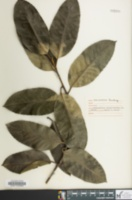 Image of Ilex latifolia