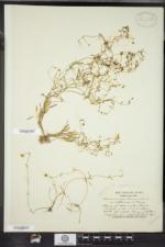 Ranunculus flammula image