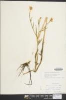Image of Helenium virginicum