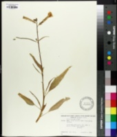 Image of Nicotiana pauciflora