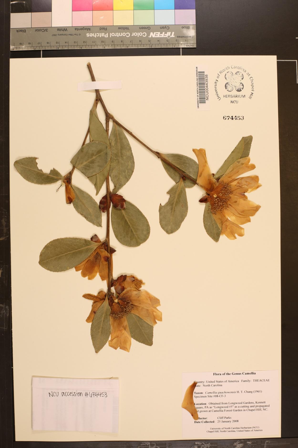 Camellia gauchowensis image
