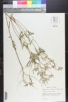 Croton elliottii image
